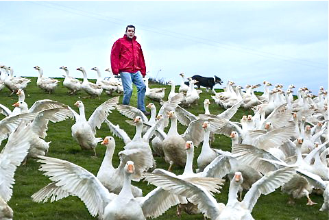 free range geese east ferry farm